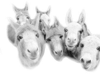 donkey black & white photo graphic